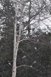 10 Blue Jays in tree by feeder - Feb. 18, 2015 - Nima Taghaboni -