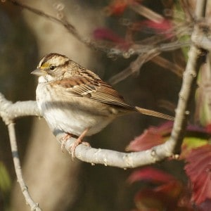 White-throated Sparrow - Wikimedia