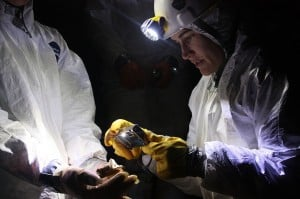 A scientist documenting a victim of White Nose Syndrome (US Geological Survey)