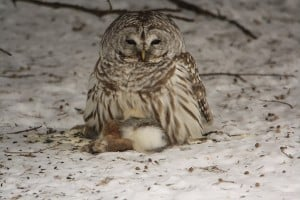 Barred Owl on cottontail - Jeff Keller - 01 24 14