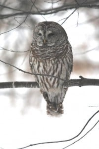 Barred Owl Feb. 8, 2015 - Television Road - Brenda Ibey