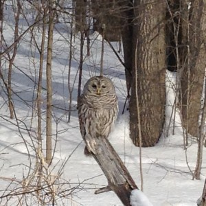 Barred Owl - Michael Gillespie