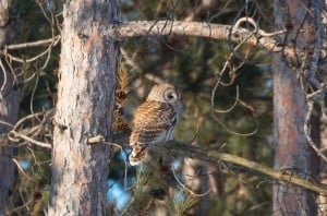 Barred Owl - Tim Corner - Feb. 14, 2014