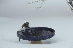Eastern Bluebird - Feb. 2, 2015 in Rochester, N.Y. - Kevin Williams