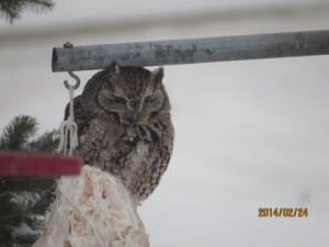 Eastern Screech-owl - Feb. 24, 2015 - Michael Gillespie