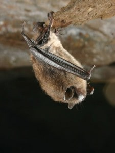 Little Brown Bat with White Nose Syndrome (US Geological Survey)
