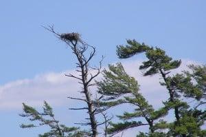 Bald Eagle nest on Lake Katchewanooka at top of dead White Pine - Drew Monkman