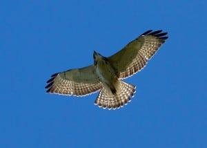 Broad-winged Hawk - Wikimedia