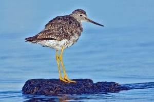 Greater Yellowlegs - Wikimedia
