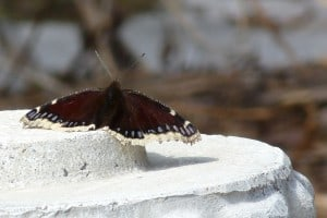 Mourning Cloak - Maple Cr. - Apr. 2014 - Drew Monkman