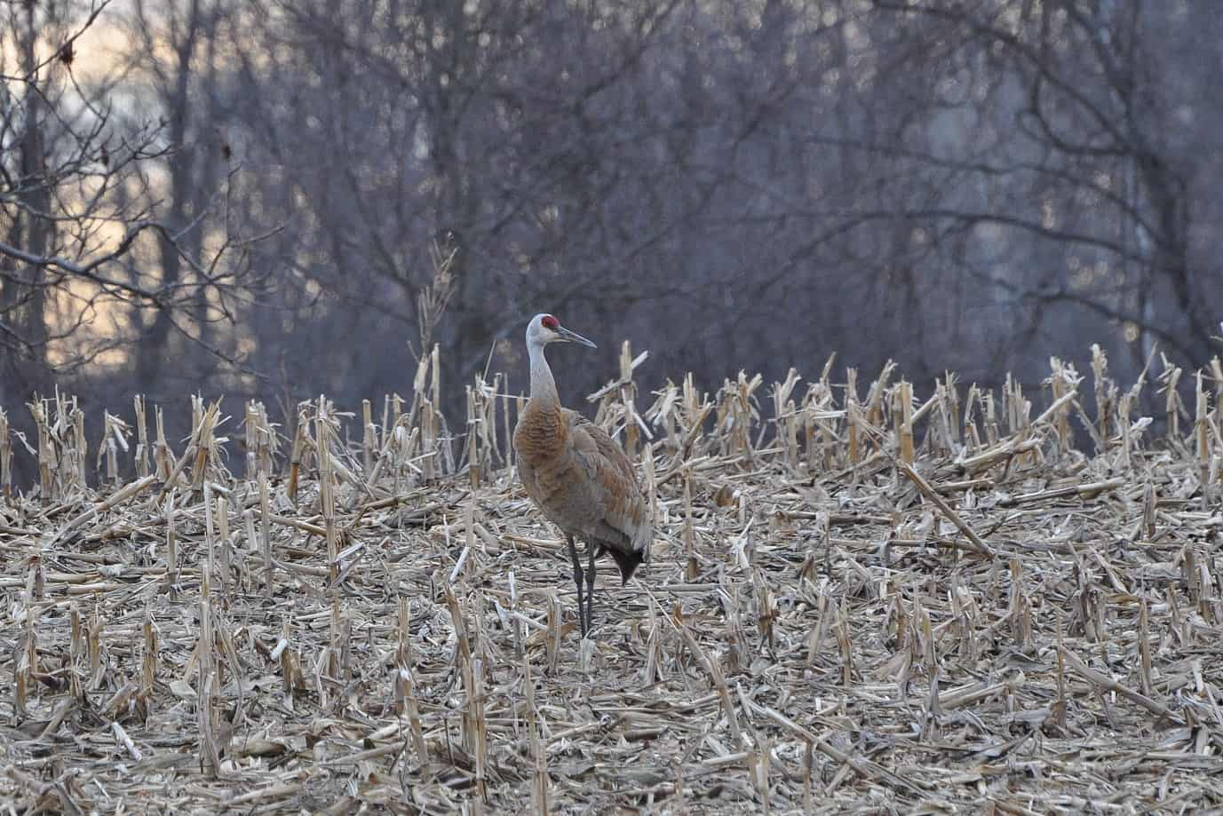 Sandhill Cranes Are Back
