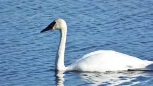 Trumpeter Swan - Fife's Bay April 12 15 Nancy Cafik