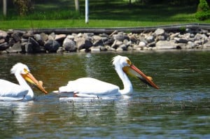 American White Pelicans -  Emma Northey - May 23, 2015 - Sturgeon L.
