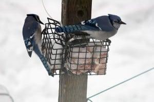 Blue Jays - Gord Belyea