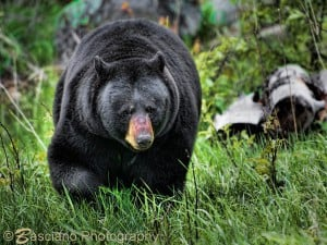 Black Bear - Ernie Basciano - Minden - May 2015
