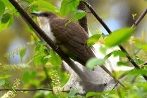 Black-billed Cuckoo - Wikimedia