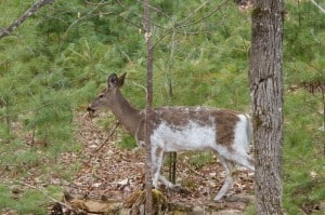 Leucistic White-tailed Deer - Peterborough Crown Game Preserve - May 2015 via Terry Carpenter