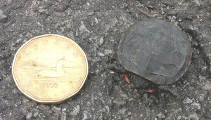 Painted Turtle hatchling - Wikimedia