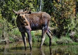 Moose - Ernie Basciano - Algonquin Park - May 2015