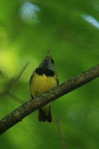 Mourning Warbler - Wikimedia