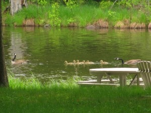 Reconfigurated family - now with six goslings! - Stephenie Armstrong