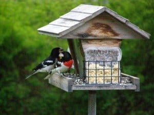 Rose-breasted Grosbeaks at feeder - Drew Monkman - May 2007