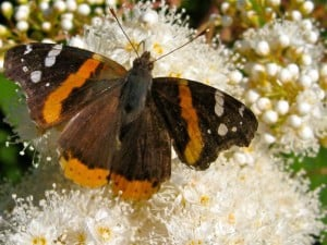 Red Admiral - Margot Hughes