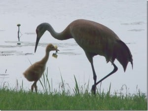 Sandhill Crane with chick - Barb Evett - Buckhorn