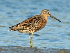 Short-billed Dowitcher - Wikimedia