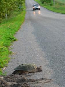 Snapping Turtle on roadside (Danielle Tassie - 2008)