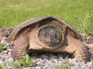 Snapping Turtle - Rick Stankiewicz (2007)