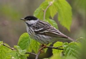 Blackpoll Warbler - Wikimedia