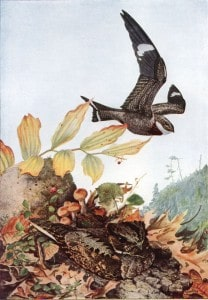 Whip-poor-will (on ground) and Common Nighthawk flying above - Wikimedia