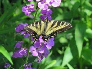 Canadian Tiger Swallowtail on Dame's Rocket bloom - Mike Barker