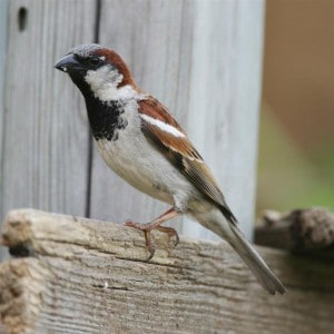Male House Sparrow (WikiMedia)