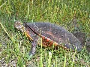 Painted Turtle nesting (Rick Stankiewicz)
