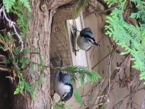 White-breasted Nuthatches at nesting box - Mike Barker