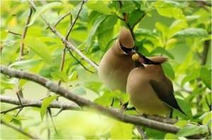 Cedar Waxwings - Wikimedia