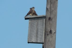 Baby Kestrels - Bill Snowden - July 3, 2015
