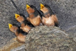 Barn Swallow nestlings - Wikimedia