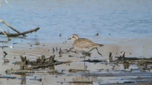 American Golden-Plover (non-breeding plumage) Andy Reago & Chrissy McClarren