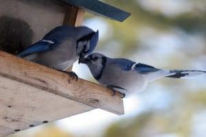 Blue Jays (Gord Belyea)