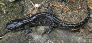 Blue-spotted Salamander - Peter Armstrong