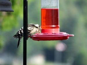 female Downy Woodpecker - Nancy Cafik