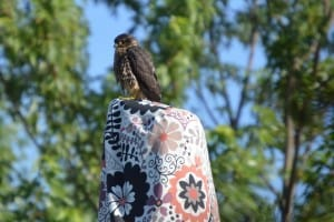 Juvenile Merlin - Jason Balcombe - Young's Point Road