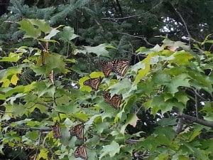 Monarchs on maple Sept. 19 2015 Jen Sanders