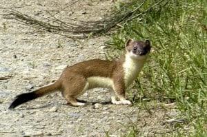 Short-tailed Weasel (Ermine) James Lindsey