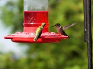 Ruby-throated Hummingbirds - Nancy Cafik