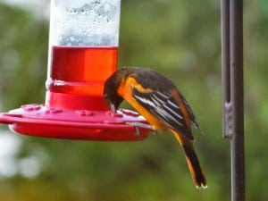 Baltimore Oriole - Nancy Cafik