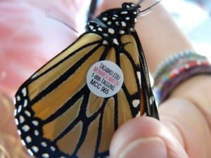 Tagged Monarch - Drew Monkman